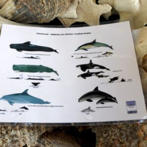 Gulf of California Cetacean Guides