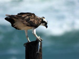 Hawk with fish