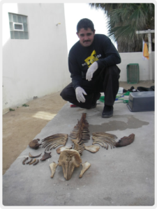 Vaquita skeleton