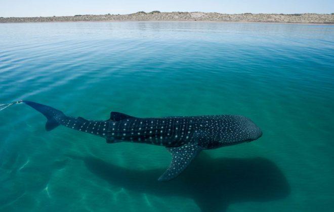 Whale Shark in La Paz B.C.