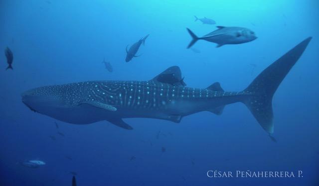 A whale shark in Galapagos. Credit: César Peñaherrera, MigraMar