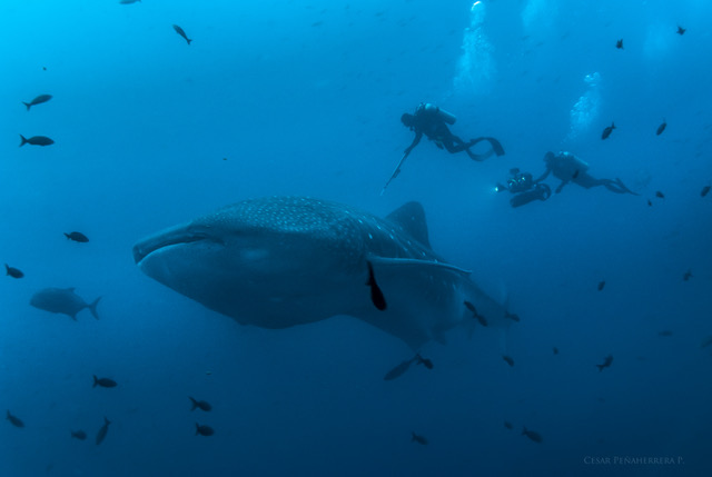A whale shark being tagged by one of the MigraMar scientists. Credit: César Peñaherrera, MigraMar